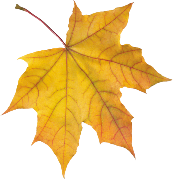 Yellow Autumn Leaves Png image