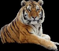 Tiger PNG Free Download 1