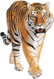 Tiger PNG Free Download 3