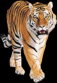 Tiger PNG Free Download 3