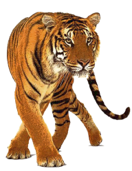 Tiger PNG Free Download 4