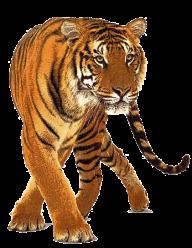 Tiger PNG Free Download 4