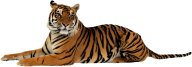 Tiger PNG Free Download 5