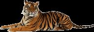 Tiger PNG Free Download 5