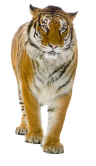 Tiger PNG Free Download 6