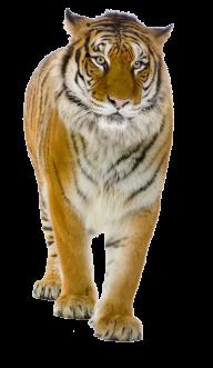 Tiger PNG Free Download 6