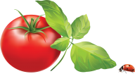Tomato PNG Free Download 15