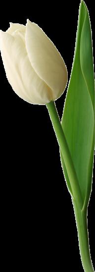 Tulip PNG Free Download 10