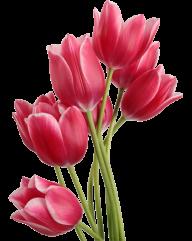 Tulip PNG Free Download 12
