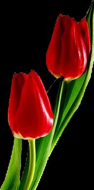 Tulip PNG Free Download 13