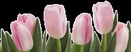 Tulip PNG Free Download 14