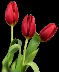 Tulip PNG Free Download 16