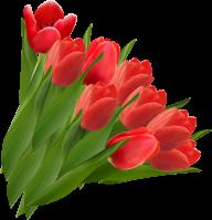 Tulip PNG Free Download 17