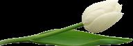 Tulip PNG Free Download 20