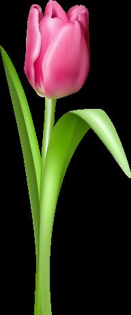Tulip PNG Free Download 21