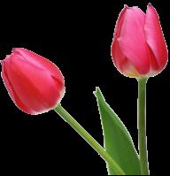 Tulip PNG Free Download 23