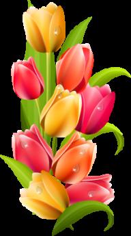 Tulip PNG Free Download 25