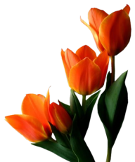 Tulip PNG Free Download 29