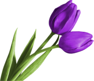 Tulip PNG Free Download 6