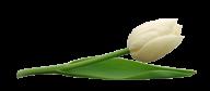 Tulip PNG Free Download 7