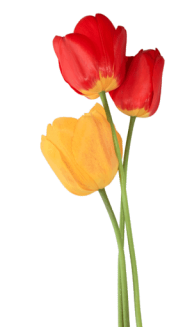 Tulip PNG Free Download 8