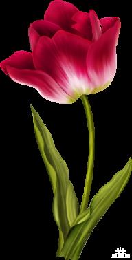 Tulip PNG Free Download 9