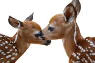 Two Deer Cubs Png