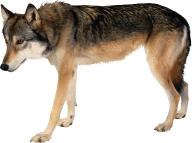 walking wolf free png download