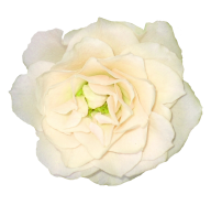 White Roses PNG Free Download 11