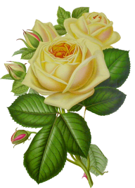 White Roses PNG Free Download 12