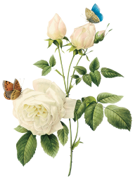 White Roses PNG Free Download 13