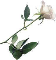 White Roses PNG Free Download 14
