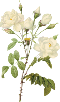 White Roses PNG Free Download 16