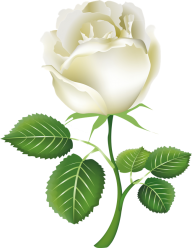 White Roses PNG Free Download 17