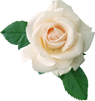 White Roses PNG Free Download 19
