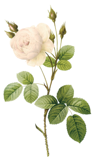 White Roses PNG Free Download 21