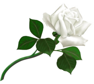 White Roses PNG Free Download 22