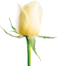 White Roses PNG Free Download 24