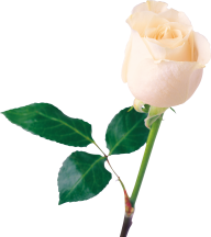 White Roses PNG Free Download 25
