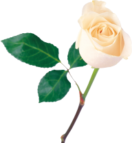 White Roses PNG Free Download 26
