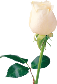 White Roses PNG Free Download 27