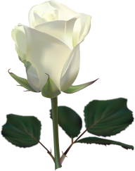 White Roses PNG Free Download 3