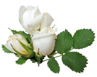 White Roses PNG Free Download 4