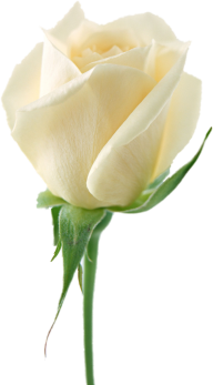 White Roses PNG Free Download 8