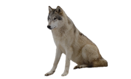 wolf sitting  free png download