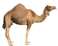 Young Camel Png
